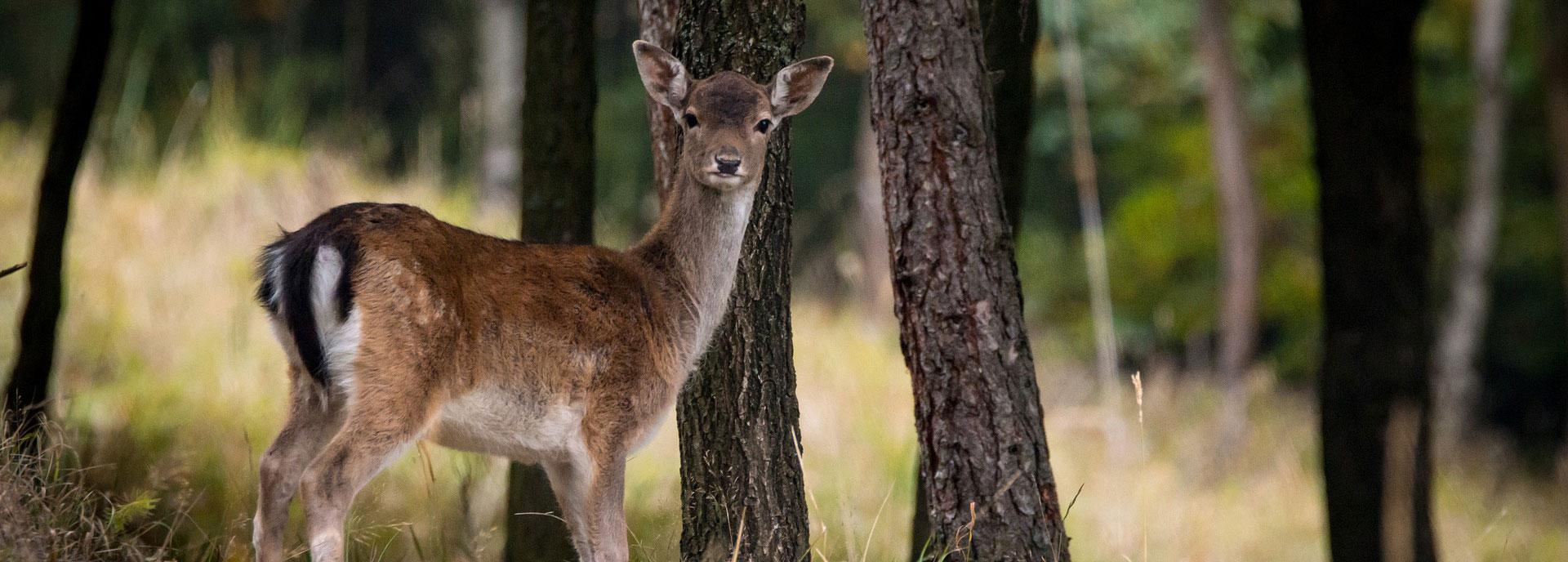 Cerbiatto nel bosco di Mezzaselva